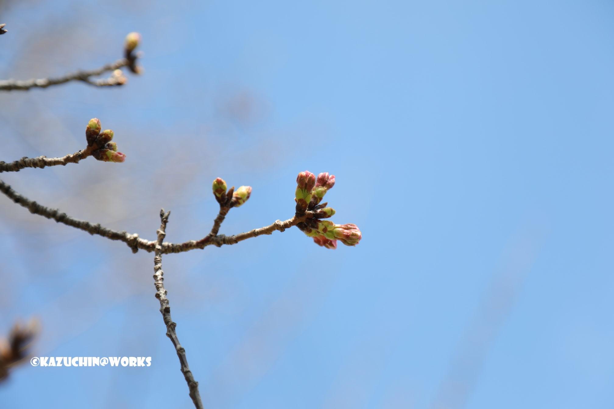 今日の桜さん その2